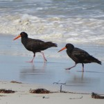 Sooty oystercatchers