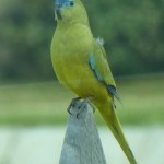 The endangered Rock Parrot